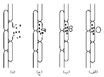 شکل 2 فروپاشی حباب کاویتاسیون و آزاد سازی مواد گیاهی